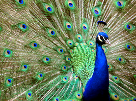 Male Peacock 1 by LifeIsToBeHappy