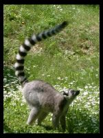 Ring-tailed lemur by Scat-Cat