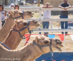 Camel Races 140906-167 by MartinGollery
