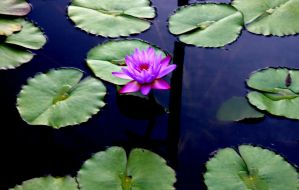 Water Lily by x-NOthiNG-x