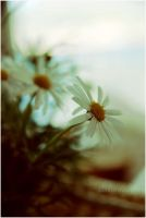 Daisies :. by estellamestella