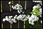 Spring Blossoms by JohnDamen