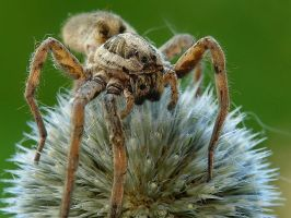 Spider by dralik