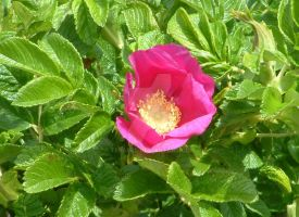 Wild rose always smell sweet by TERABBS