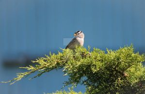 White-crowned Sparrow by Spirit-whales