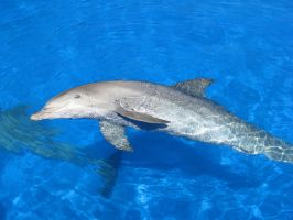 Wild animal stock 43 - dolphin by Momotte2stocks