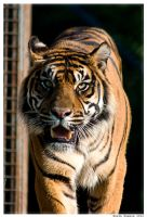 Tiger by Sato-photography