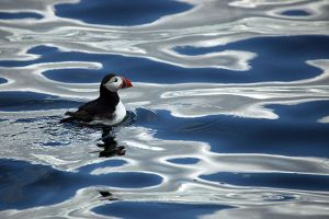 Puffin by not-in-my-lifetime