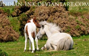 Grey Mare and Skewbald Filly 2 by Indian-Ink