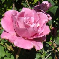 wet pink rose by mjconns
