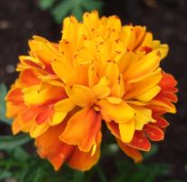 French Marigold by 101gleek101
