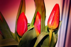 Red tulips to March 8! by Luba-Lubov-13