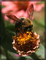 Carpenter Bee 20D0035906 by Cristian-M