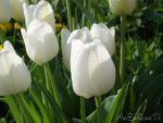 White Tulips by Anzaraneth