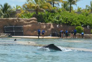 Nassau, Dolphin Interaction Showing Back by Miss-Tbones