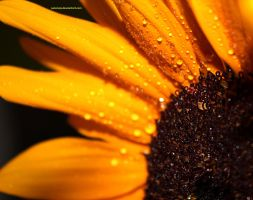 sunflower by justencja