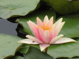 Tall Waterlily by Jyl22075