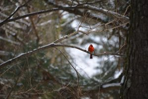 Male Cardinal 1-29-14 by Tailgun2009