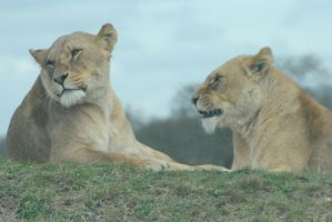 Lions by falornelf