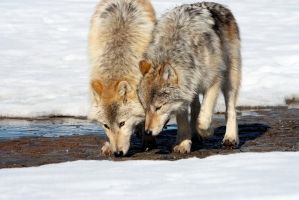 Wolf Pups_4368 by echiax