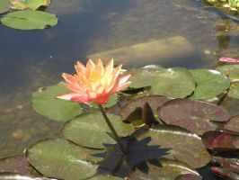 Waterlily 3 by chamberstock