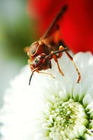 the red wasp by insaneone