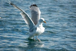 Gull 2009 4 by grugster