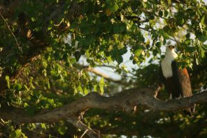 Fish Eagle by thedismantled