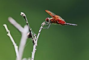 red dragonfly by mkuegler