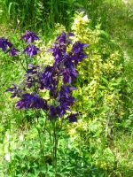 dark blue columbine by crazygardener