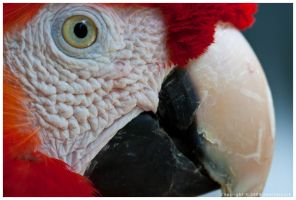 Scarlet Macaw by nearthepark