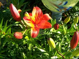 Red Asiatic Lily 9 by racheltorres921