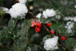 Snow And Ice Holly by BlueSolitaire