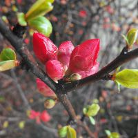 Red Buds by Cattereia
