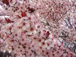 Flowering Plum by JamesDarrow
