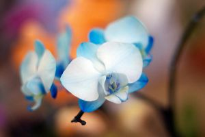 Blue orchids by JessicaOssa