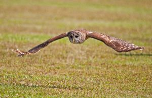 Owl in Flight by Photography-by-Image