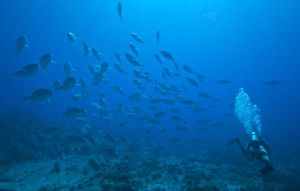 Amberjacks and Diver by leighd