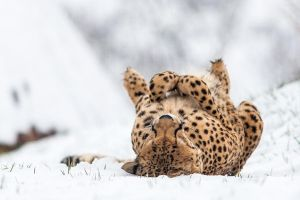 Do Cheetahs like snow? by darkSoul4Life