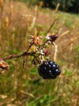 Wild blackberry at Pureora by Dhadhajimbillybobjoe