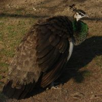 Peahen by MapleRose-stock