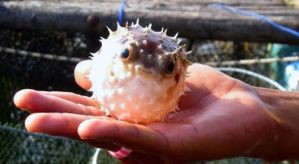 Bubble Blowfish by Livala