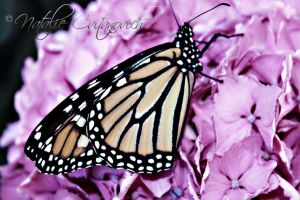 Monarch Butterfly by natzcv