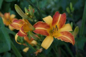 Lily Stock by kbhollo