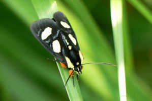Forester Moth. by buckobeck