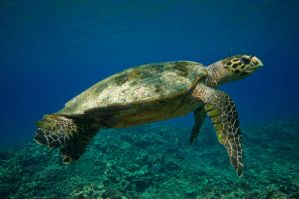 Green Turtle by leighd