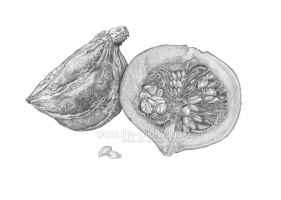 Squash pencil study by WildWoodArtsCo