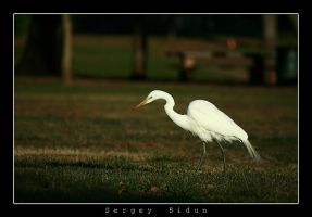 White Heron 2 by sergey1984