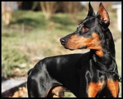 Frosty the Doberman by EdwinLMunt