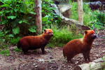 Orange fluffies ( Bush Dogs ) by KxRi
